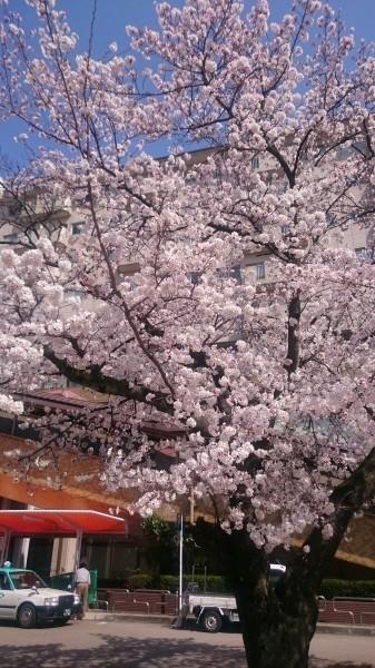 犬山駅前 桜 開花 観光