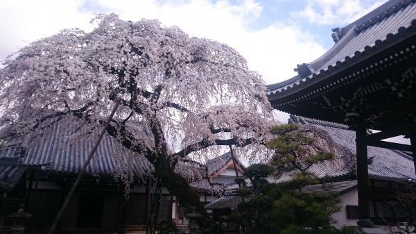 犬山市 観光 桜