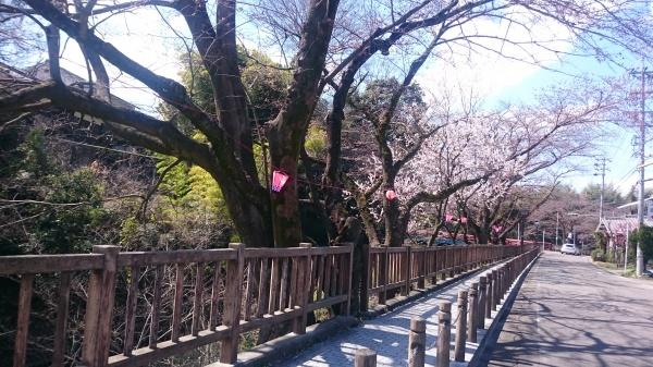 犬山 桜 お花見 観光